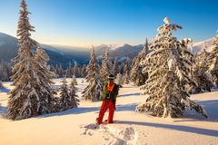 Traveler goes snowshoeing among huge pine trees. Covered with snow, admires awesome view of winter mountains. Epic winter adventure in the mountains. Back view royalty free stock photography