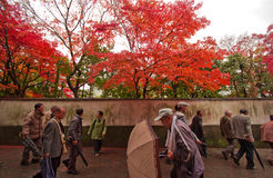 The traveler in Japanese temple Autumn in Kyoto , Japan. stock photography