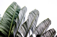 Traveler palm leaf background in nature weave pattern Royalty Free Stock Image