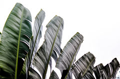 Traveler palm leaf background in nature weave pattern. Banana fan Stock Image