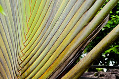 Traveler palm leaf background in nature weave pattern Royalty Free Stock Photos