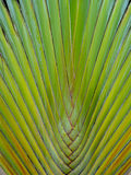 Traveler Palm Royalty Free Stock Photography