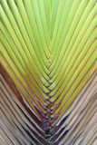 Traveler's palm , banana leaf. Background Royalty Free Stock Photo