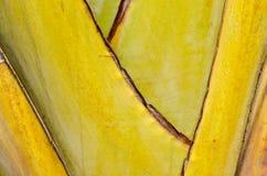 Traveler's palm. Have beautiful texture Stock Photos