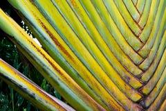 Traveler's palm Ravenala Stock Photos