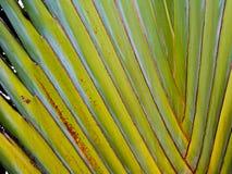 Traveler's palm Ravenala Stock Image