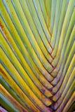 Traveler& x27;s palm Ravenala. Big body of traveler& x27;s palm Ravenala banana Stock Images