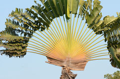 Traveler's tree. Detail of Ravenala madagascariensis commonly known as Traveler's Palm Stock Images