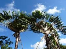 Traveler's Tree Stock Photography