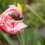 Traveler snail crawling on a tulip. Close-up macro snail traveler crawling on a delicate pink spring tulip on a square green blurred background royalty free stock image