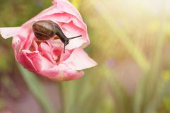 Traveler snail crawling on a tulip in the sun. Close-up macro snail traveler crawling on a delicate pink spring tulip on a green blurred background in the sun royalty free stock photos