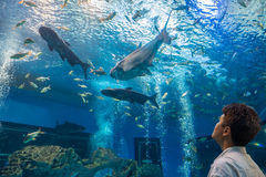 Traveler or tourist is looking at fishes in freshwater aquarium Stock Image