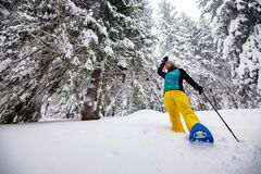 Traveler, woman goes snowshoeing among huge pine trees. Covered with snow, during snowfall. Epic winter adventure in the mountains. Wide angle royalty free stock photo