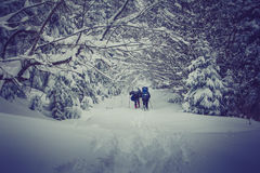 Travelers with a backpacks walking along the road through the forest in the winter mountains. View of snow-covered conifer trees a Stock Photography
