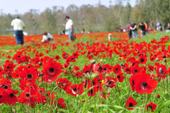 Travelers in Flowering Field. An image of travelers enjoying the blooming red anemones Royalty Free Stock Photography