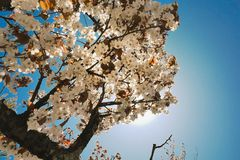 Travelers found the last Sakura tree of the spring season. Under the blue sky in the sun at nikko stock photo