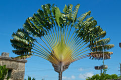 Travelers palm tree Stock Images