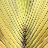 Travelers Palm Tree (Ravenala madagascariensis) Stock Photo