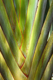 Travelers tree ravenala madagascariensis Stock Photo