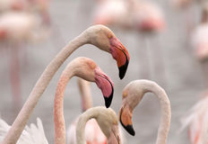 Traveling Africa - flamingos Royalty Free Stock Photo