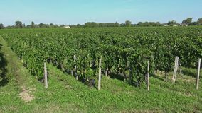 Traveling along the Bordeaux-Pomerol vineyards. The grapes are ready to harvest stock video footage