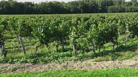 Traveling along the Bordeaux-Pomerol vineyards. The grapes are ready to harvest stock footage