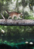 Traveling companions. A whimsical raccoon holding a flower with a group of butterflies crossing a log over a swampy area to an unknown destination.  An alligator Stock Images