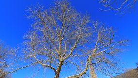 Traveling from a tree with blue sky background. Traveling from a deciduous tree, trunk and branches ,filmed in winter stock footage