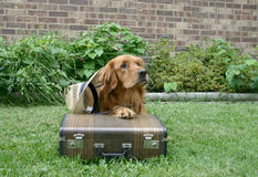 Traveling dog. Golden retriever with hat and suitcase, looking for a home, running away from home or simply traveling stock photo