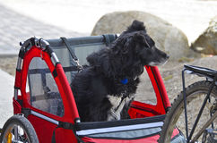 Traveling dog. Dog traveling in a bicycle trailer Stock Photography