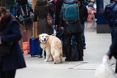 Traveling with a dog. People queue at a railway station. one person travels with a Golden Retriever at the leash Stock Photography