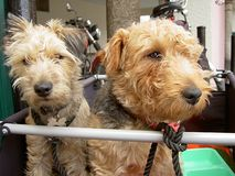 Traveling Dogs. Terrier dogs in travel basket Royalty Free Stock Photos