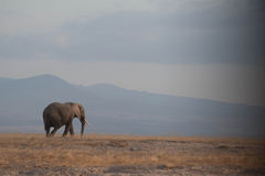 Traveling Elephant. Elephant traveling across the base of Kiliminjaro Royalty Free Stock Photos