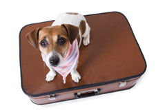 Traveling jack russell terrier dog