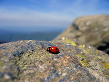 Traveling ladybug 2. A lonely ladybug of the cliffs of Semenic Mountains (western Romania - 1446m altitude Stock Photography