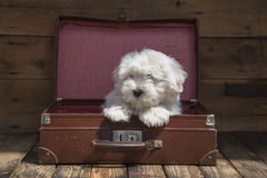 Traveling with a pet - puppy dog sitting in a suitcase - concept. Animal wooden background: Traveling concept -little baby dog is going on holidays Royalty Free Stock Photo