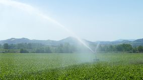 Traveling sprinkler in a maize field. stock footage