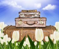 Traveling  suitcases in a tulip field. With sunlight Royalty Free Stock Photo