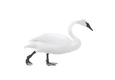 Free Traveling Swan Isolated Stock Photography - 13375212