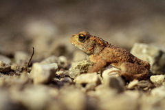 Traveling Toad. Picture of a Little Toad on a rocky Road with blurred stony background Royalty Free Stock Image