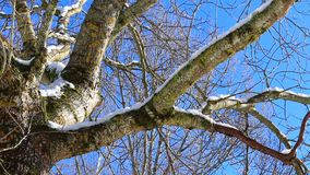 Traveling from a tree with blue sky background. Traveling from a deciduous tree, trunk and branches ,filmed in winter stock video footage