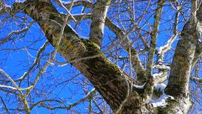 Traveling from a tree with blue sky background. Traveling from a deciduous tree, trunk and branches ,filmed in winter stock video