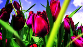 Traveling Through Tulips. Traveling Through a Field of Tulips stock footage
