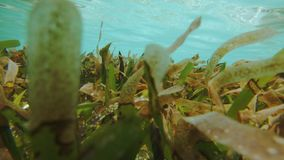 Traveling Over Seagrass Bed. Traveling Underwater Shot In The Maldives Over A Cymodocea Seagrass Meadow, Environmentally Important While Holding Twice As Much stock video