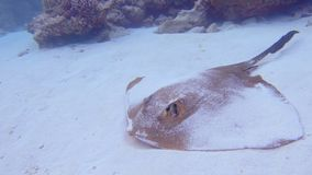 Feather Tailed Stingray. Traveling Underwater Shot Of A Resting Cowtail Stingray, Pastinachus Sephen, On A Sandy Sea Floor In The Maldives stock footage