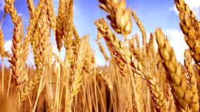 Traveling Through Wheat. Traveling Through a Field of Wheat stock video