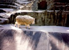 Traveling Wooly Critter. San Diego, California Royalty Free Stock Image