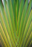 Traveller palm. Details of leaf stalk of traveller palm Stock Photos