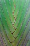 Traveller palm. Details of leaf stalk of traveller palm Stock Photo