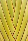 Traveller palm. Details of leaf stalk of traveller palm Stock Image